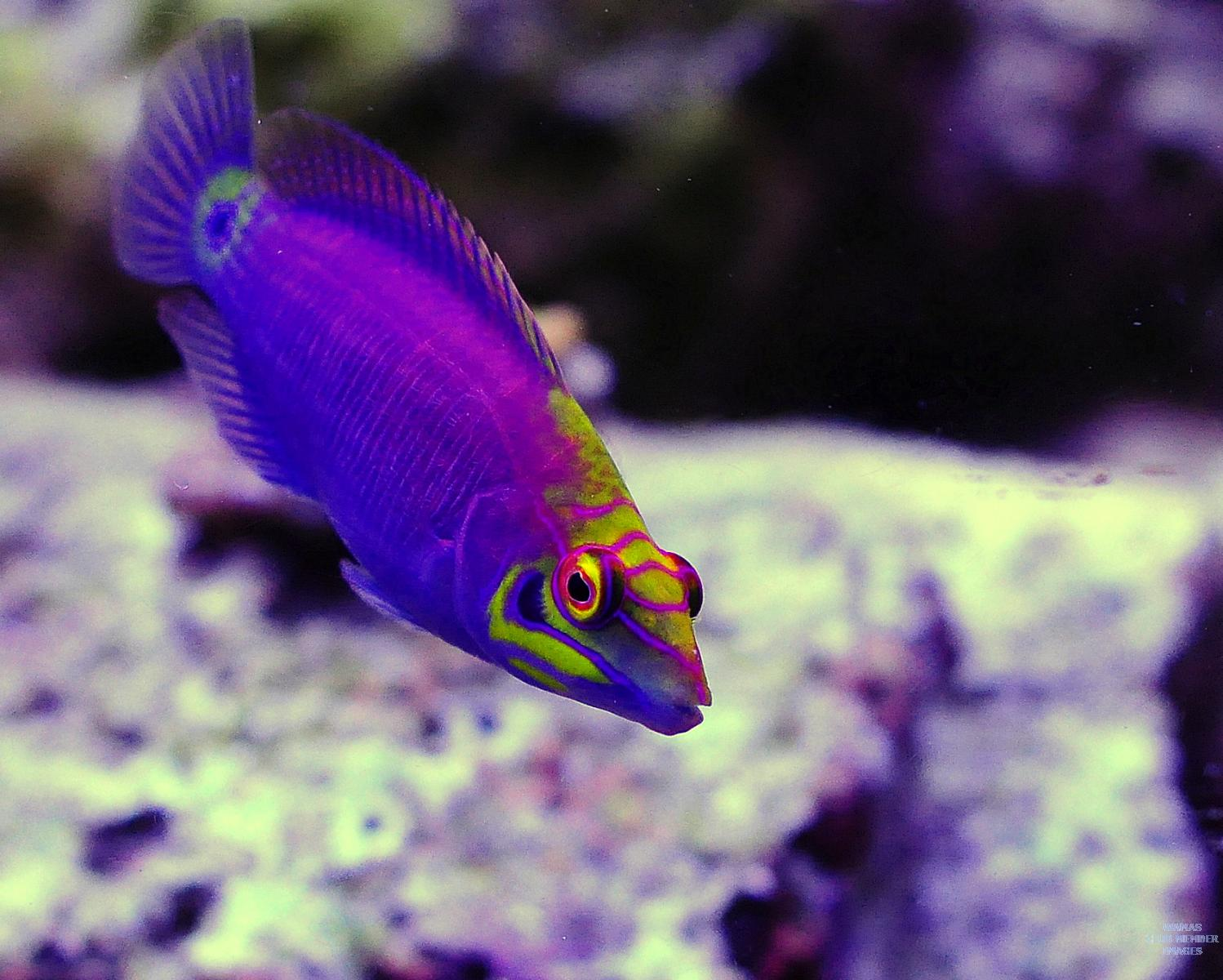 Mystery wrasse tank gallery wamas forums for Community saltwater fish